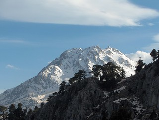 European Black Pine (Pinus Nigra) in front of the high mountain tops with snow | by 300td.org
