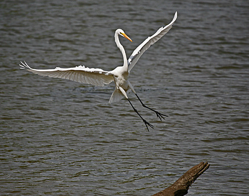 Egret Landing Part 1 Great White Egret Robert Grove