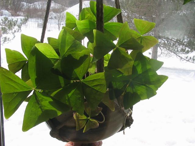 Shamrock plant flickr photo sharing - Shamrock houseplant ...