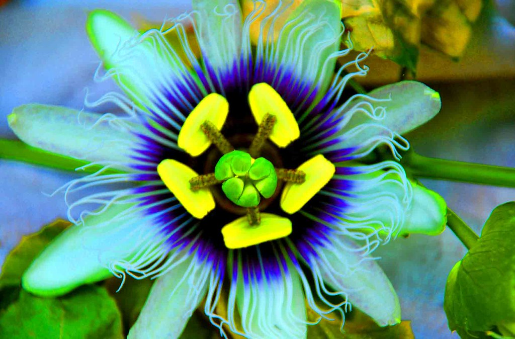 Passion Fruit Flower Flor De Maracuj Do Meu Quintal