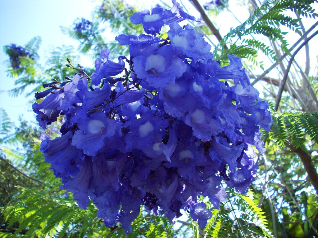 Fairchild Tropical Flowering Tree Sale 014 Jacaranda