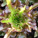 Looseleaf lettuce