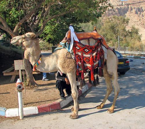 The Dromedary Camel (Camelus