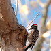 Woodpecker in my tree