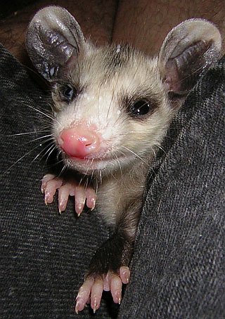 Smiling Possum Baby possum portrait