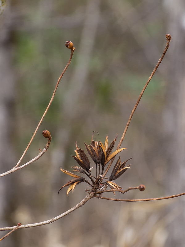 Pinxter Azalea seed capsules and flower buds