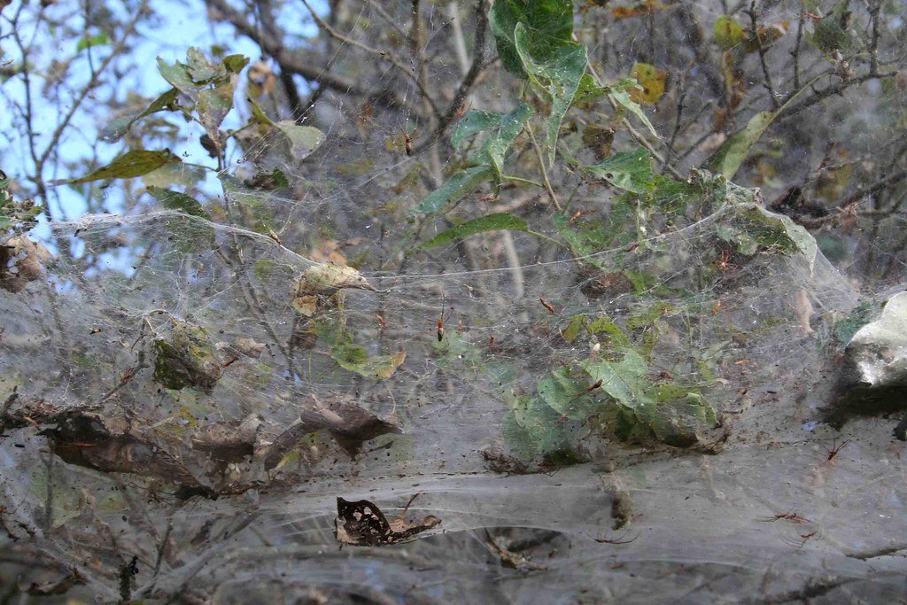 Spiders Cover Shores Of Greek Town With 1000Foot Web