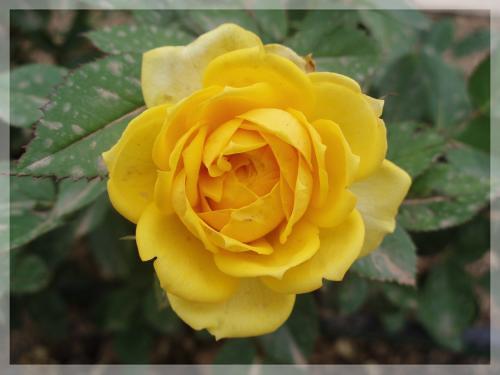 Flores Amarillas | Me encanta que me regalen flores. Las ...