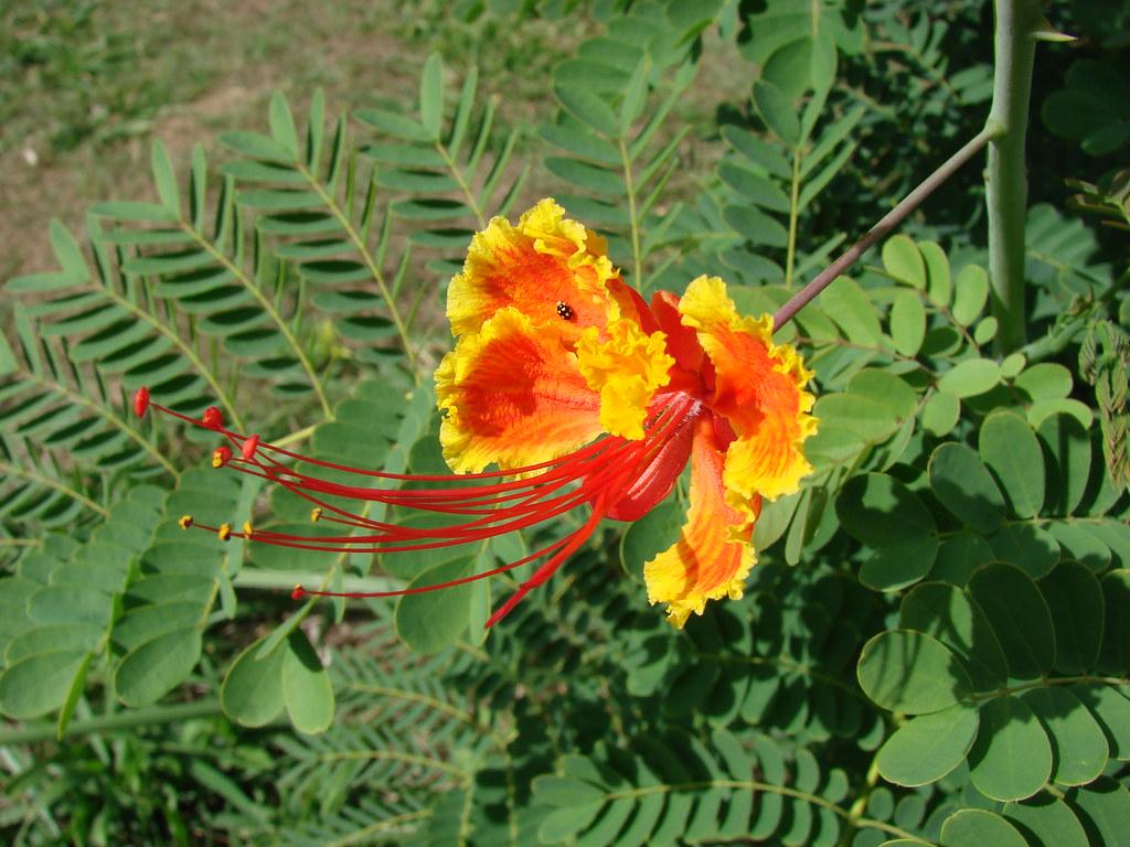 43 - Flor 19 - Clavellina, Acacia clavellina, Pequeño flam ...