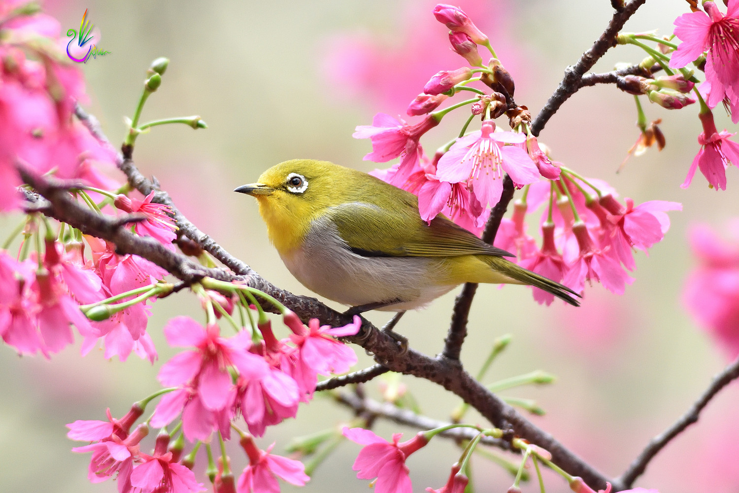 Sakura_White-eye_6380