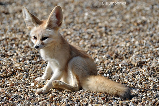 Africa Alive: Fennec Fox | by --CWH--