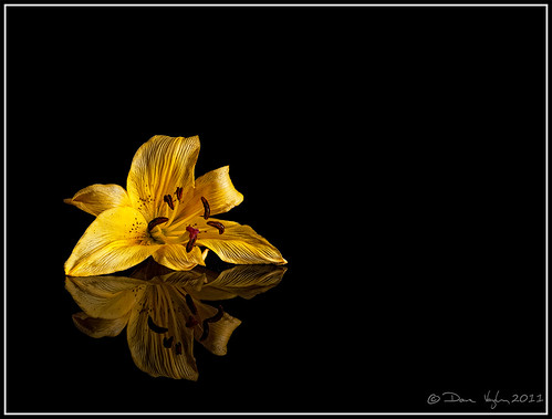 Wilting Lily | by vaughaag