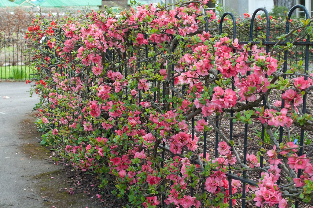 CHAENOMELES X SUPERBA 'PINK LADY' | Pink flowering quince ...