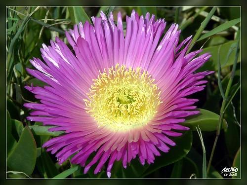 la fleur de l 39 amiti cette fleur m 39 a permis de faire la co flickr. Black Bedroom Furniture Sets. Home Design Ideas