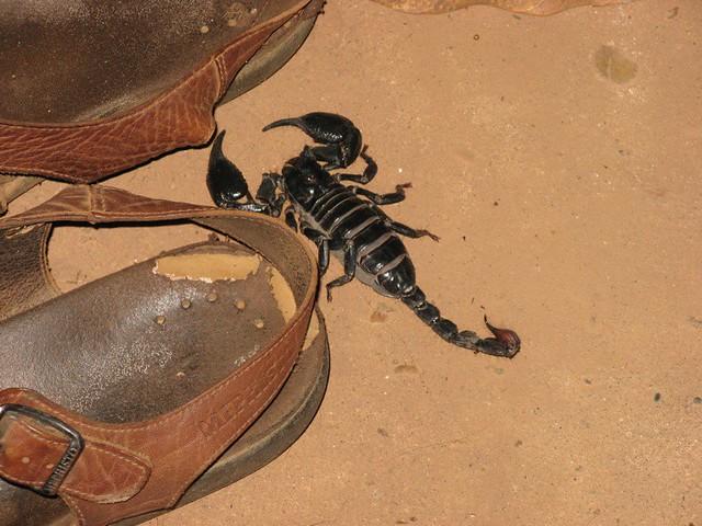 Biggest scorpion in the world - photo#39