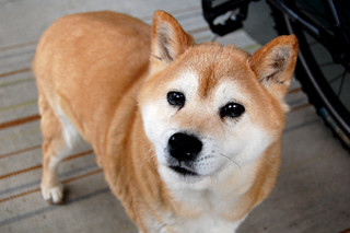 Lincoln the Shiba Inu | by JW Ogden