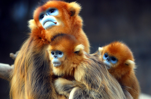 Golden snub nosed monkey | by floridapfe