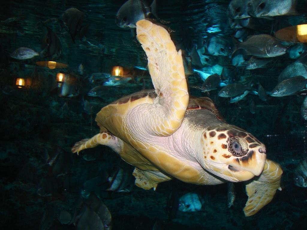 Sea Turtles in Georgia Georgia Aquarium Sea