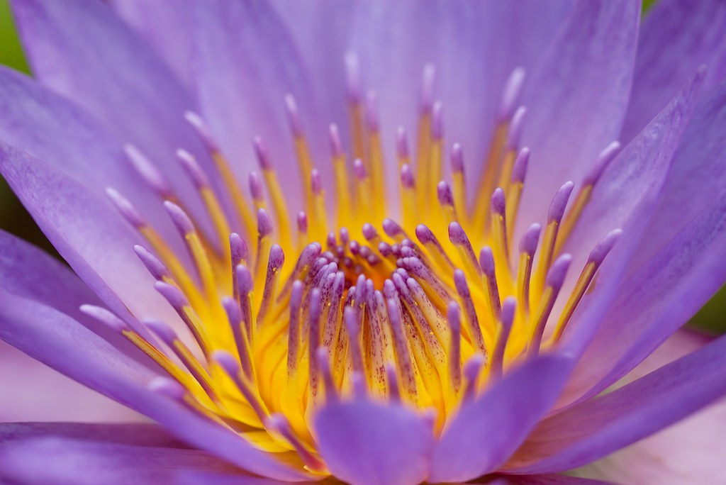 Common Lily Pad Bloom, Macro | The Motley Pixel Lens Photo