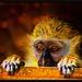 ...this primate's lament