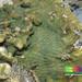 Ridged plate coral (Merulina sp.)