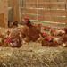 Chickens on hay