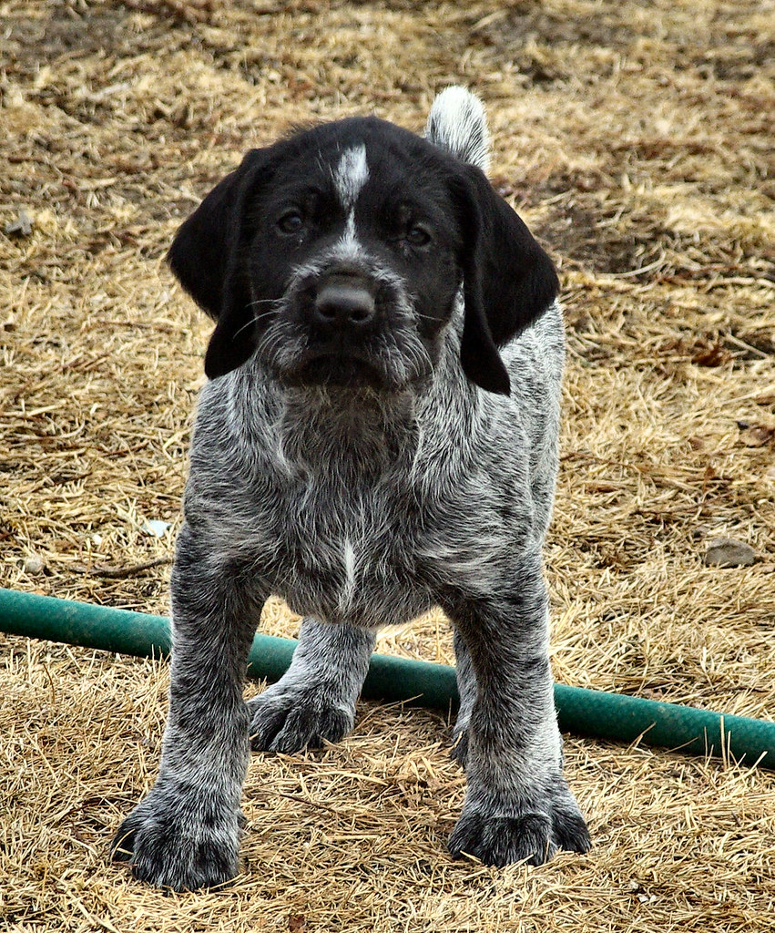 Some of my 7 week old German Wirehair Pups | www.uplandwireh… | Flickr