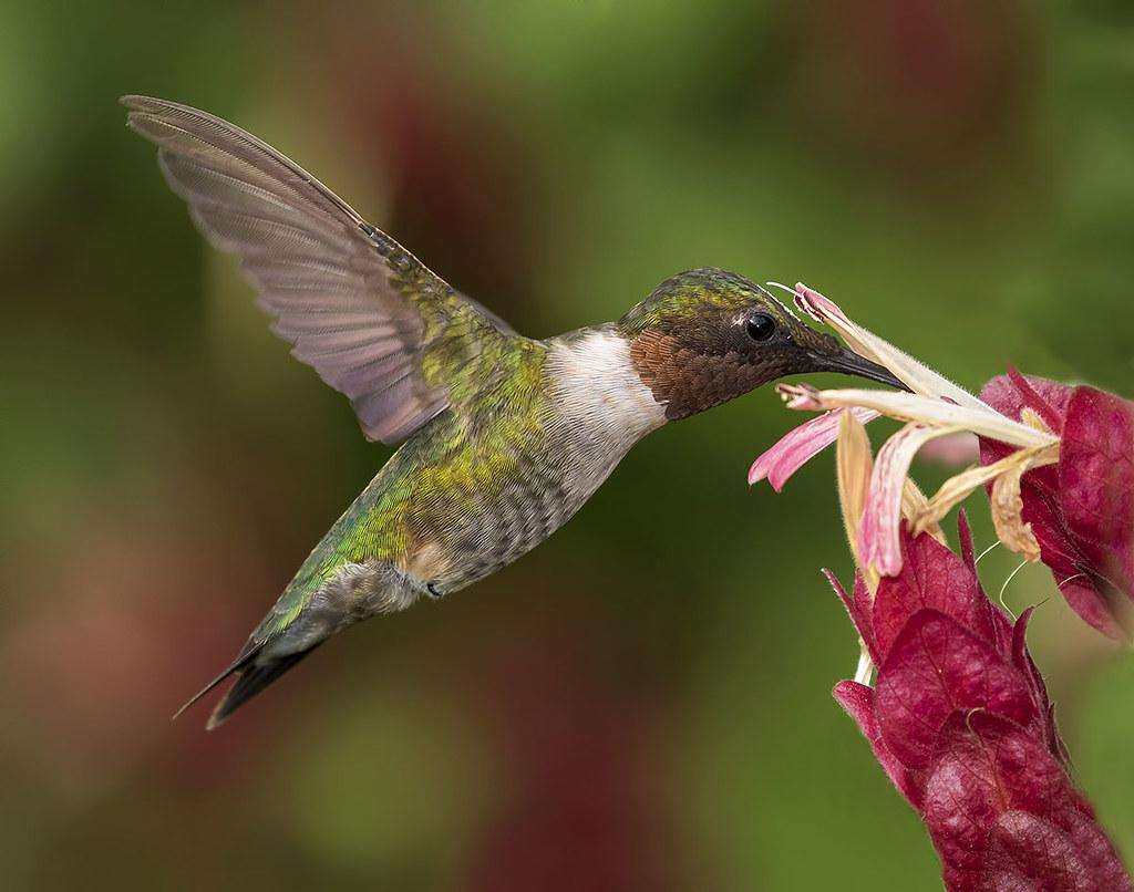 Gemütlich Ruby Throated Kolibri Malvorlagen Ideen - Druckbare ...