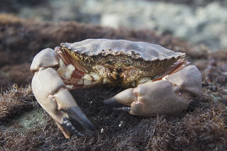 Red Rock Crab (Cancer antennarius) | by jkirkhart35