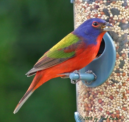 Painted Bunting Male Passerina Ciris Blending In