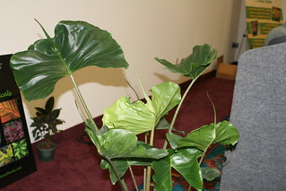 'Sting Ray' Alocasia | by Gardening Solutions