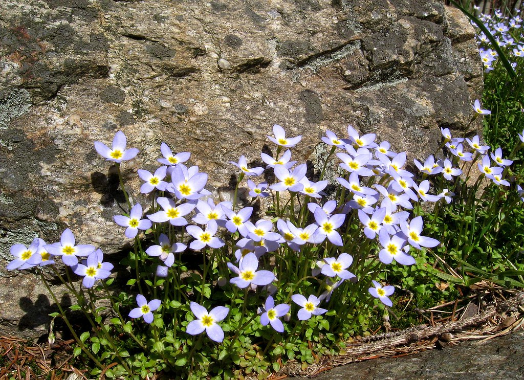 Bluets at balsam mountain bluets are one of the more for Balsam mountain