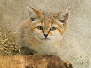 Sand Cat | by Squeezyboy