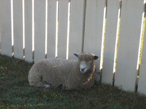 Sheep at Williamsburg 5 | by Kate the Archivist