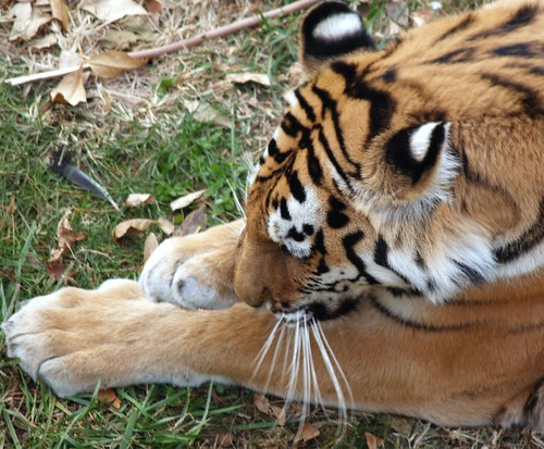 Saint Louis Zoo Exhibits Red Rocks Big Cat Country