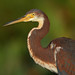 Tri-colored Heron (Wild Bird)