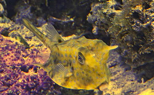 Longhorn Cowfish | by Ransomed63