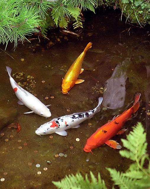 San francisco golden gate park japanese tea garden for Japanese garden fish