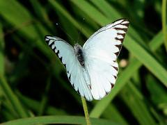 005. Butterfly Striped Albatross