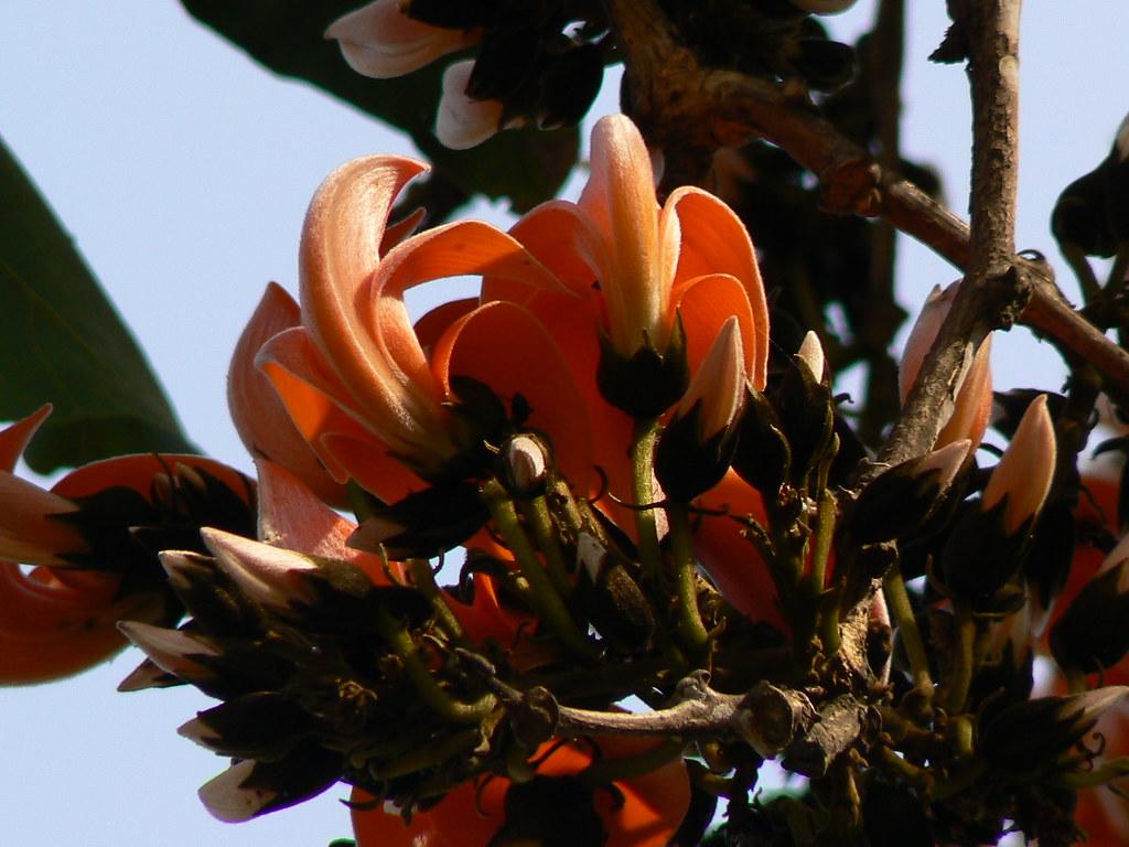 Dhak (Hindi: ढाक) | Palash (Hindi: पलाश) is the State ... Palash Flower In Hindi