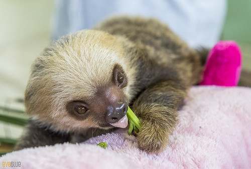 Hoffmann's two-toed sloth Gamboa Wildlife Rescue pandemonio 2017 - 15 | by Eva Blue