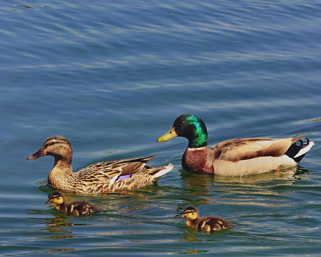 Mallard duck family manlius pond ny joe pellacore for Duck pond water