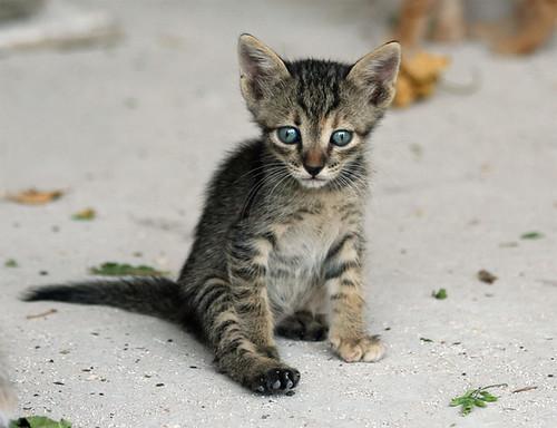 sad eyed baby feral stray kitten feral kitty