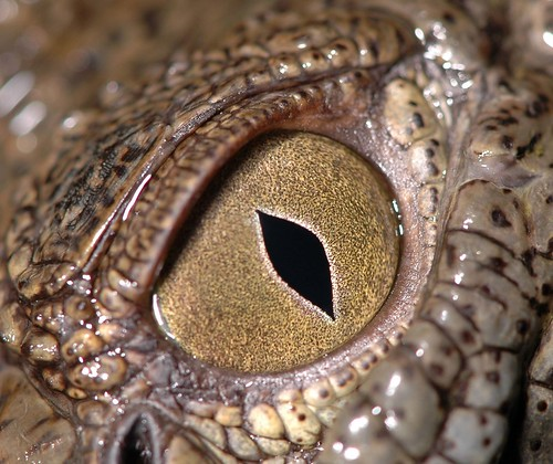 Crocodile Eye | by A.Alshatti