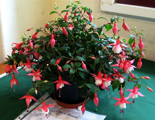 Wcfs Show Fuchsia Patio Princess 2 These Are Not