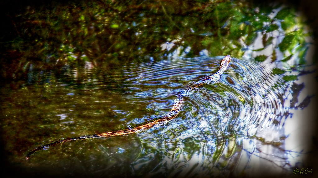 Banded Water Snake Care Florida Banded Water Snake