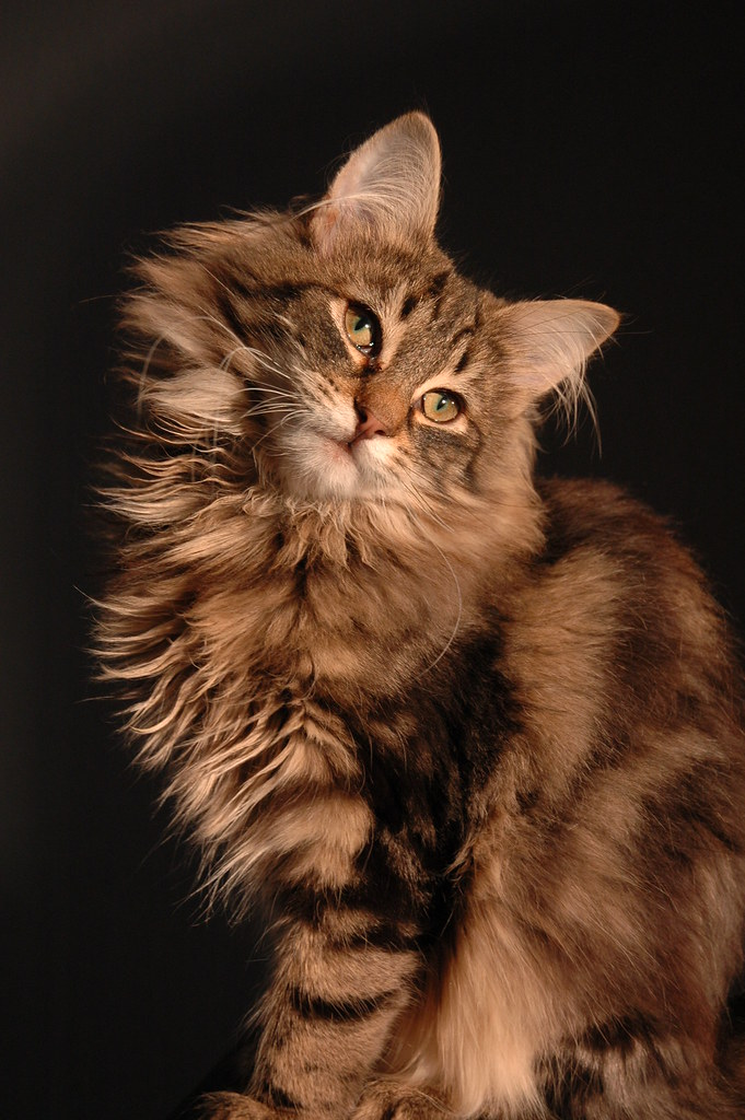 The Norwegian Forest Cats For Sale