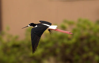Hawaiian Stilt ( Ae'o )                                                 -Endangered Species (      Himantopus mexicanus knudseni) | by William  Dalton