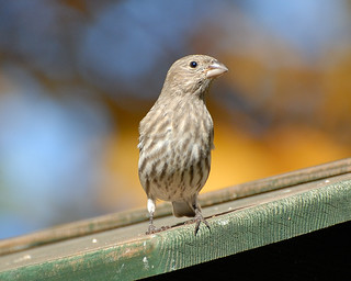 House Finch_2007-11-03_14.JPG | by mrBobBaker