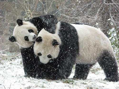 Snow Pandas | by RoxandaBear